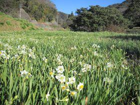 房総の春は早い!千葉・鋸南町「江月水仙ロード」を散策する|千葉県|トラベルjp<たびねす>