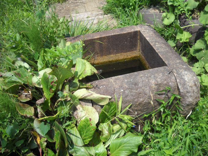 花井戸の水面に白蓮の花が・・・