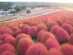 真っ赤な丘と可憐なコスモスの咲く国営ひたち海浜公園