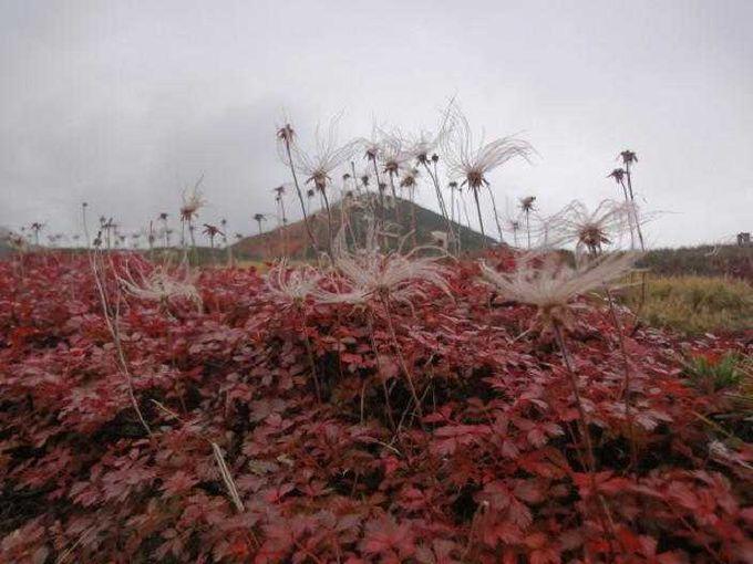 秋風を静かに待つチングルマ