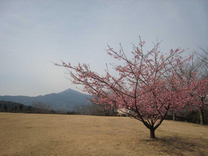 少し早めに春を告げる河津桜