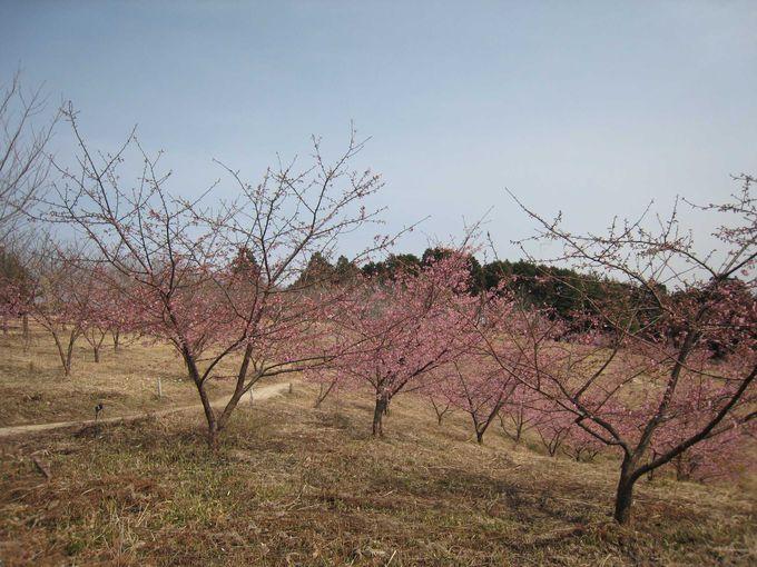 河津桜の隠れた名所「茨城県フラワーパーク」へ足をのばそう