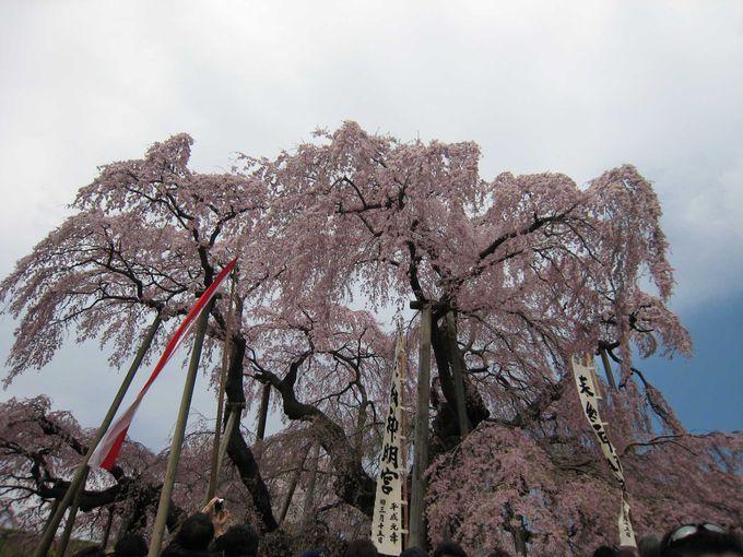 千年の時を語りつぐ三春の滝桜(福島・三春町)