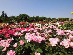 バラを見るなら朝 世界各国のバラが咲き誇る京成バラ園早朝さんぽ|千葉県|トラベルjp<たびねす>