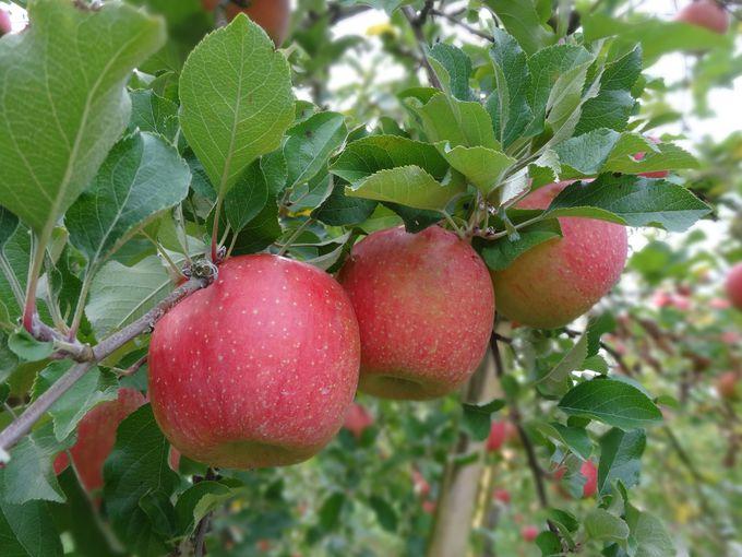 真っ赤なりんごは、身体にうれしい効果がいっぱい