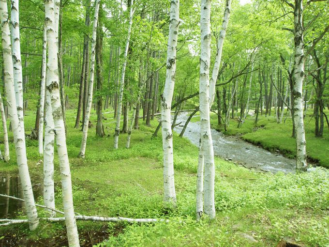 まるで妖精が住む森のよう 奥日光の静かで美しい森