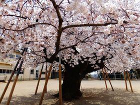 土浦市真鍋小学校の桜が凄い!!校庭のド真ん中で艶やかに春を告げる|茨城県|トラベルjp<たびねす>