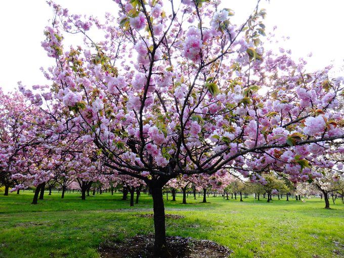 350種1,000本が集まる桜見本園