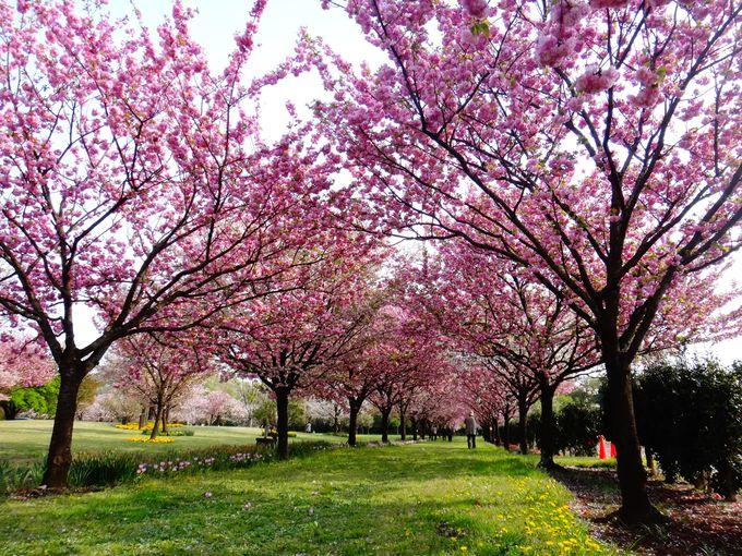 十種類十色の桜が共演する並木道