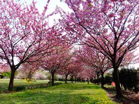 まるで桜図鑑!!350種1,000本の桜が咲く「日本花の会・結城農場」|茨城県|トラベルjp<たびねす>