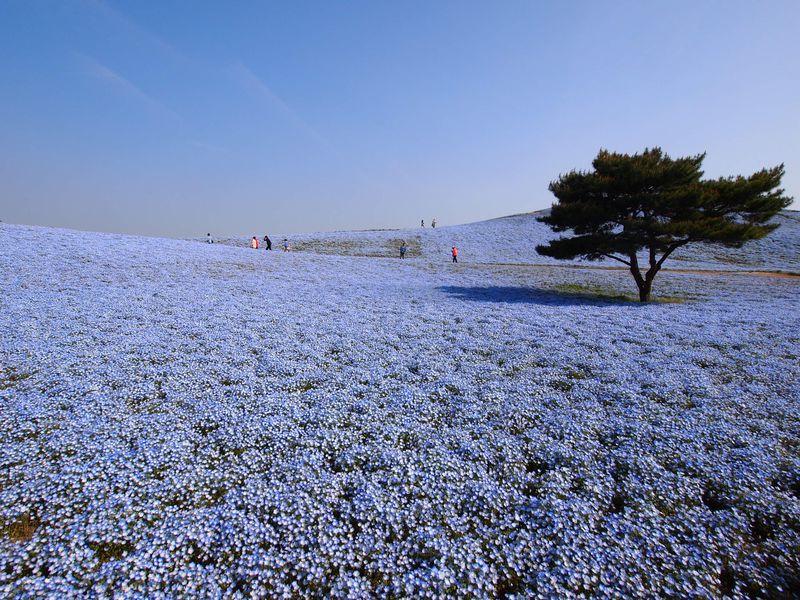 GWは国営ひたち海浜公園の早朝開園へ 可憐なネモフィラの咲く青い丘とチューリップの絨毯
