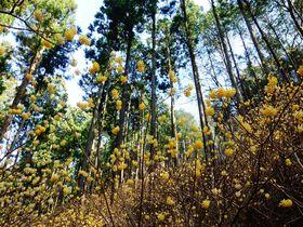妖精の森へ 甘~い香りで春を告げる栃木県茂木町ミツマタ群生地「焼森山」|栃木県|トラベルjp<たびねす>