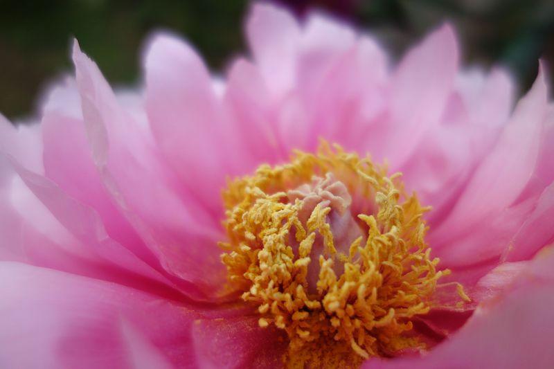 期間限定開園!世界にたった5株の牡丹が咲く「つくば牡丹園」春の庭へ