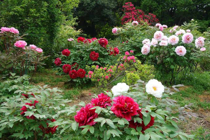 GWが見頃!!550種1万株の豪華絢爛な春の庭「つくば牡丹園」