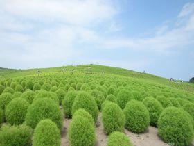 もふもふキュートなコキア!夏色の風が吹く・茨城「国営ひたち海浜公園」|茨城県|トラベルjp<たびねす>