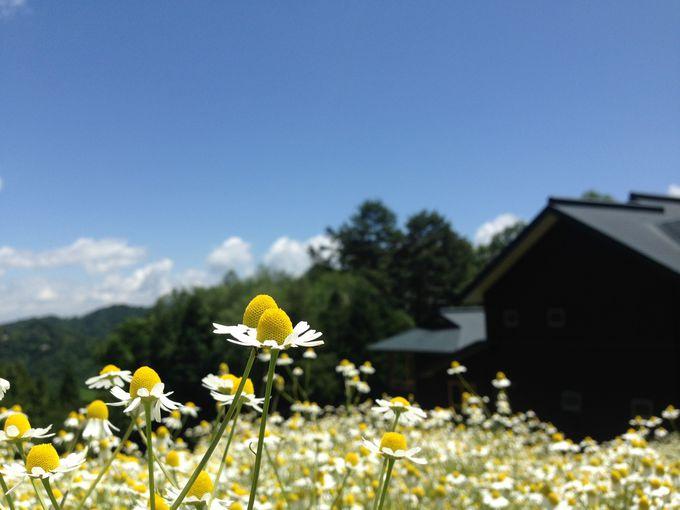 ハーブの女王カモミールが咲く「カミツレの宿 八寿恵荘」