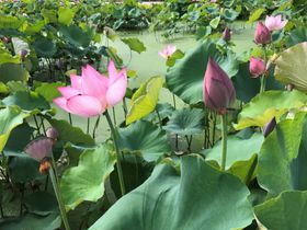 艶やかな蓮(ハス)に酔いしれる、福井県「花はす公園」へ行こう!|福井県|トラベルjp<たびねす>