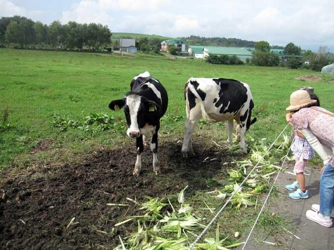 放牧されている乳牛と触れ合う
