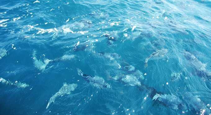 天然記念物の鯛が躍る