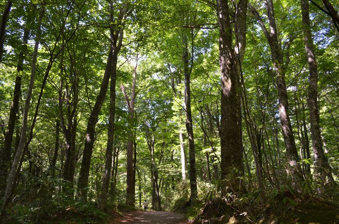 山ガールでなくたって、ブナ森林を楽しみたい!