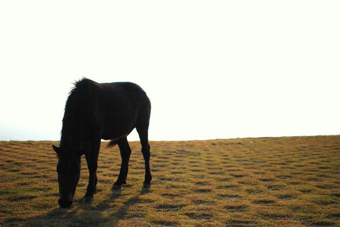 御崎馬をもっと知りたい方は「都井岬ビジターセンターうまの館」へ。