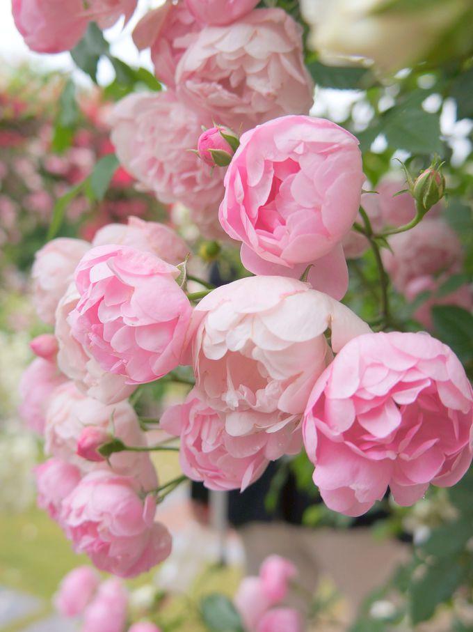 おすすめイベント。バラをより深く楽しむなら、バラセミナーへ!