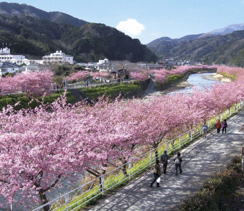 ひと足早いお花見が楽しめる河津桜! のどかな川沿いの散策を楽しもう