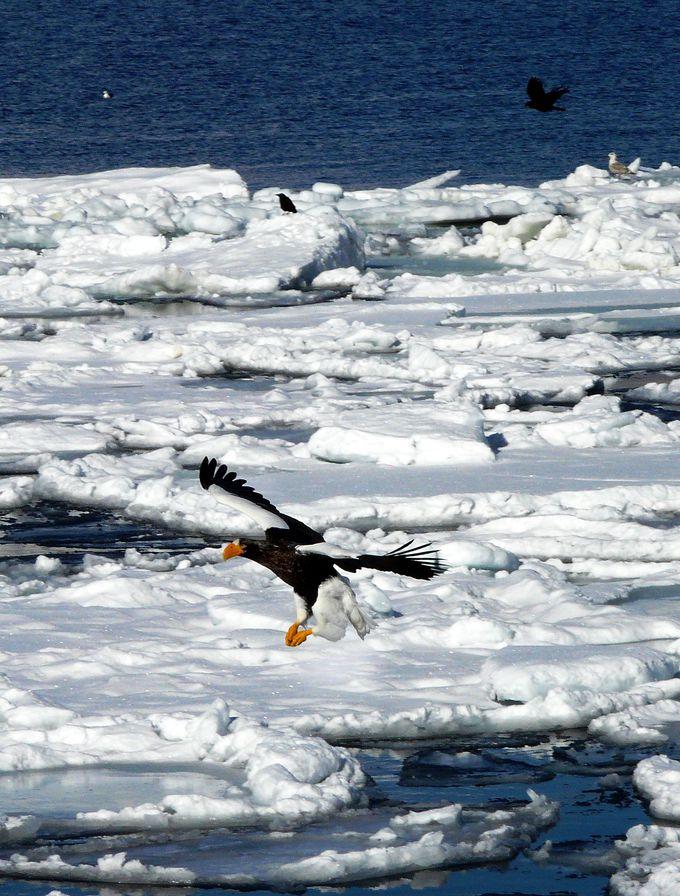 オオワシやオジロワシ、ツチクジラ、ゴマフアザラシなど希少な動物や鳥と遭遇する確率が高い!