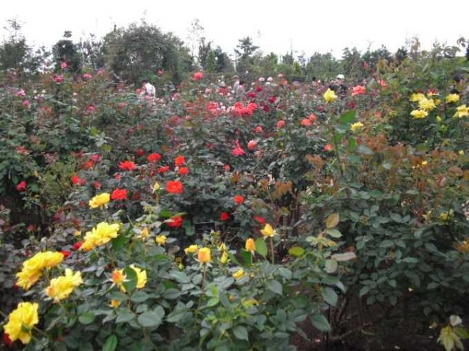 花菜ガーデンのバラ園は圧巻の美しさ