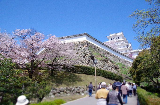 春の恒例行事「姫路城観桜会」