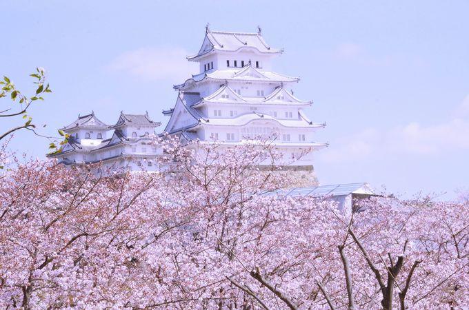 桜の上に姫路城天守が顔を出す