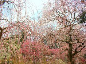 掛川「龍尾神社」は300本のしだれ梅の名所!境内にはドラえもんもいるよ|静岡県|トラベルjp<たびねす>