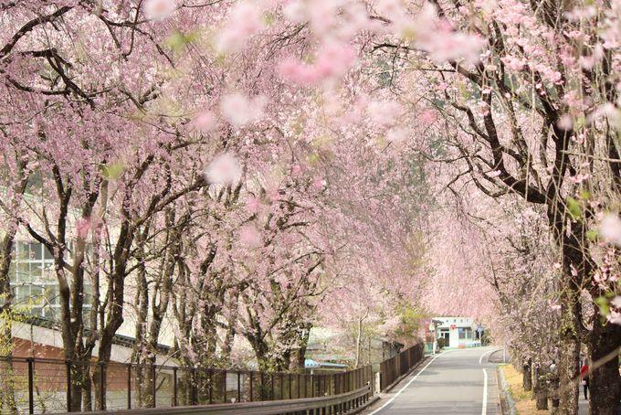 華憐で美しい徳山しだれ桜