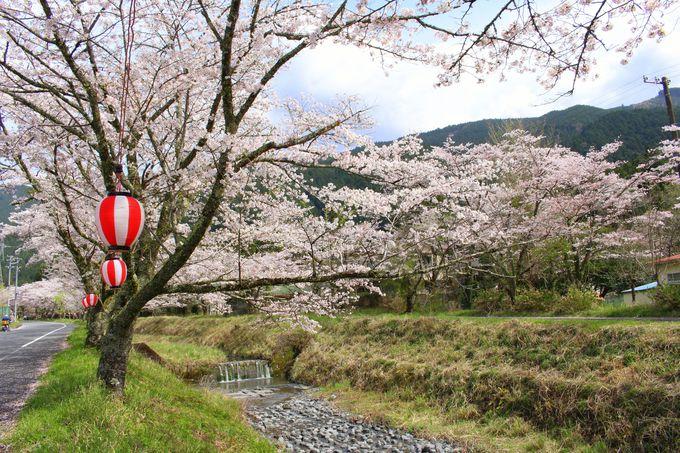 桃沢沿いの約300本のソメイヨシノと花々たち