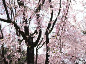 穴場的新名所!静岡県川根本町の徳山しだれ桜と桃沢の桜が美しい|静岡県|トラベルjp<たびねす>