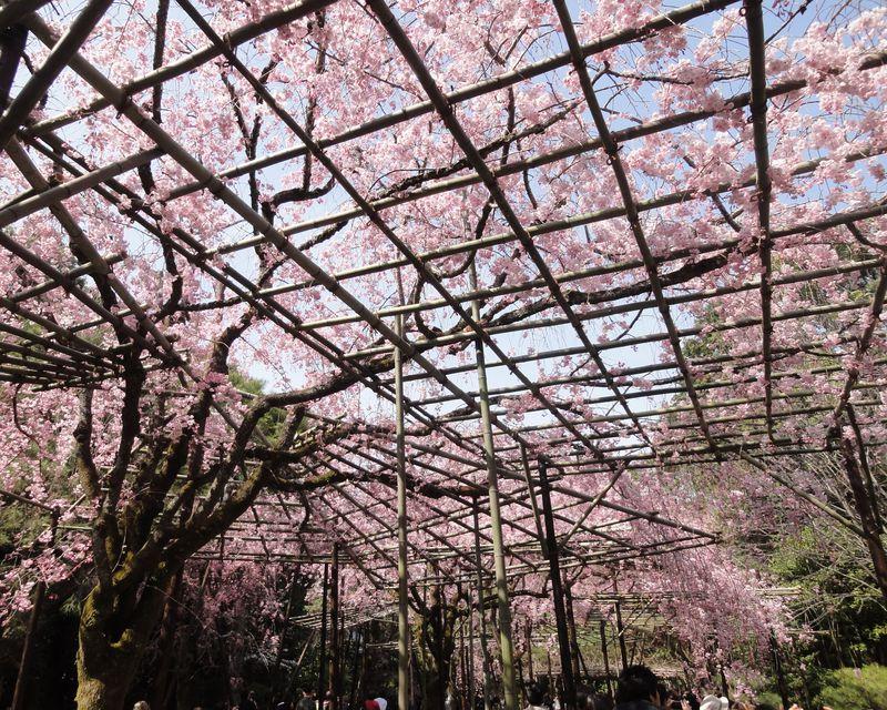 桜の屋根にうっとり!京都「平安神宮 神苑」の八重紅しだれ桜と京都市動物園