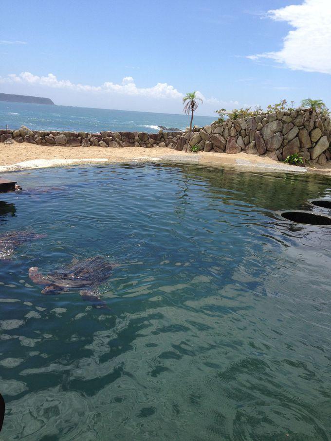 居心地の良さそうなウミガメプール!水族館産まれの子ガメ達を海に放流する活動も!