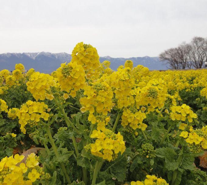 12,000本の菜の花畑で一気に春気分!