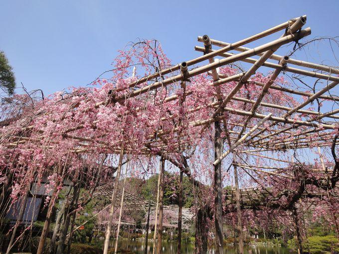 桜の屋根にうっとり、夢のような景色!大切に手入れされた桜たちが咲き競う!