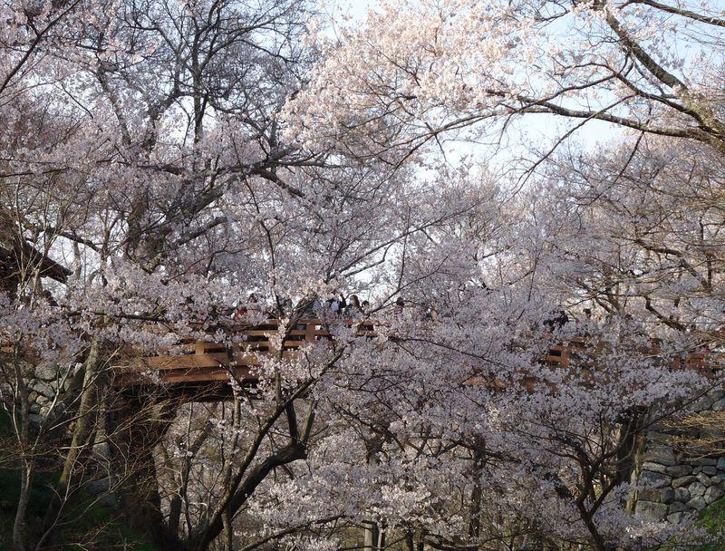 可憐でありながら天下第一。長野県・高遠城址公園の桜