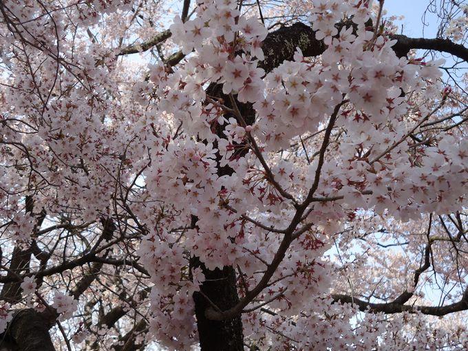 かつては戦国時代の要所・高遠城、今は桜の名所・高遠城址公園