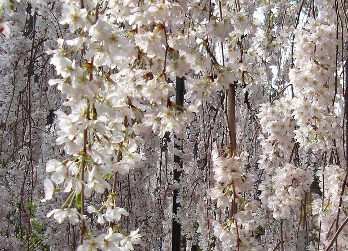 花をぎっしりつけた枝垂桜は見事「奈良・大野寺」