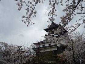 現存する日本最古の天守閣、国宝犬山城(愛知県)と名脇役の桜
