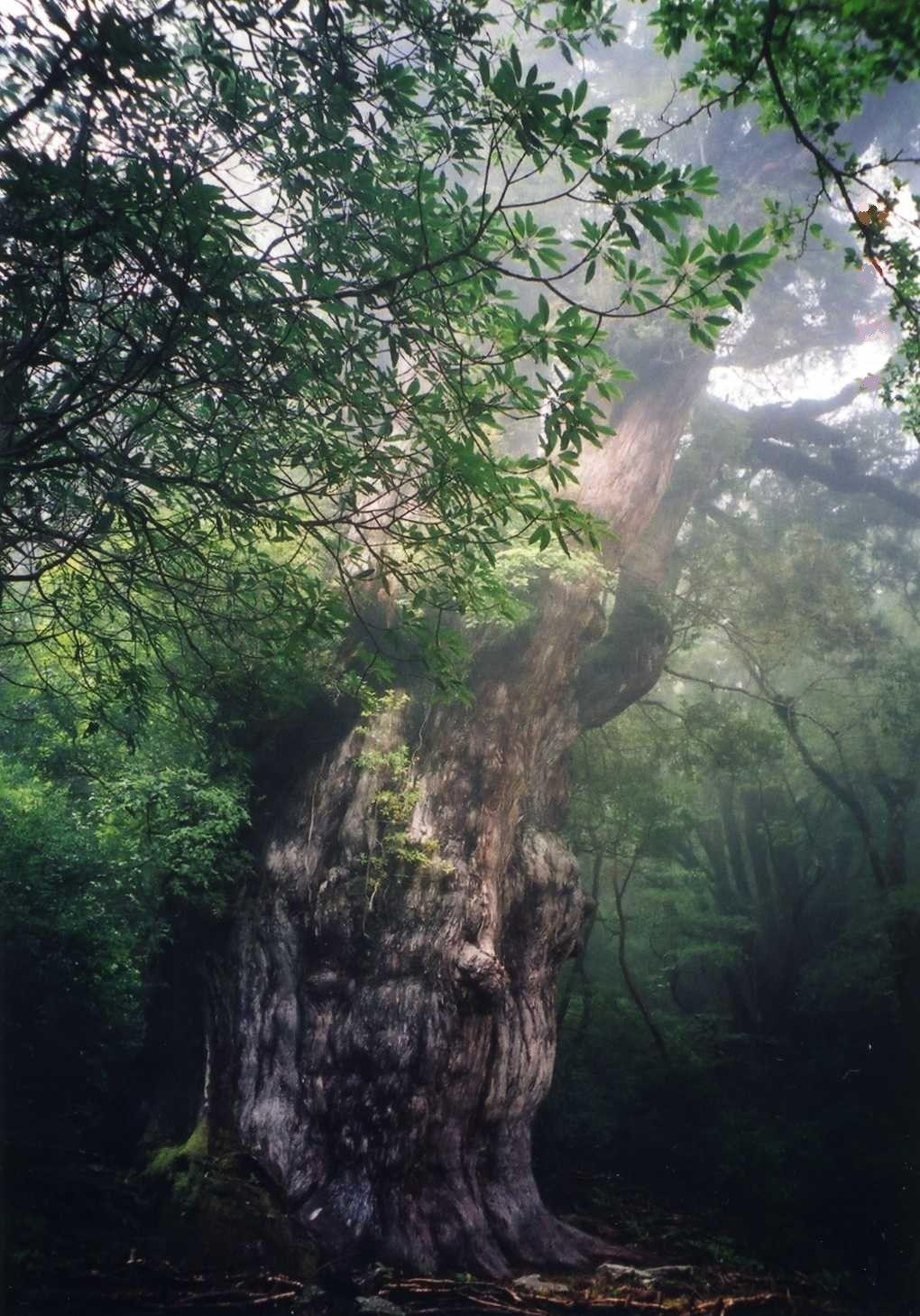 神々しい樹齢7,200年の縄文杉