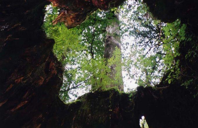 ウィルソン株、大王杉、夫婦杉…縄文杉登山の途中にある名木