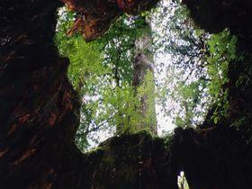 縄文杉・弥生杉・紀元杉…樹齢1,000年を超える古木の宝庫、屋久島!