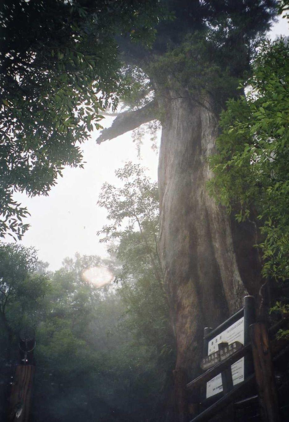「もののけ姫」の森のモデルになった白谷雲水峡にある弥生杉