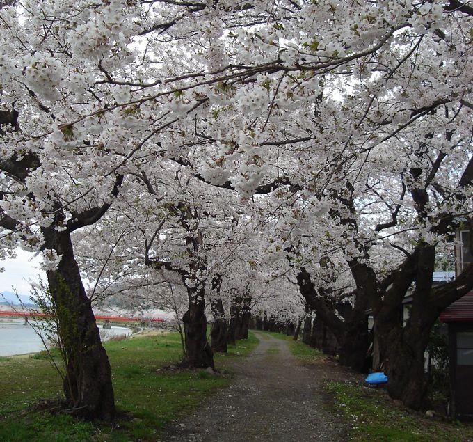 一度は通ってみたい桧木内川堤、桜のトンネル