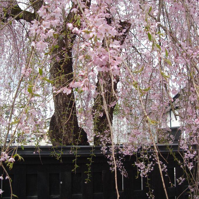 桜花爛漫!7色の紅葉美!秋田「角館」で至高のみやびを味わう武家屋敷巡り