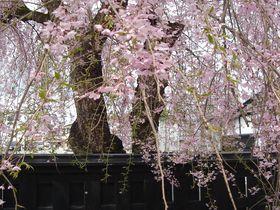 桜花爛漫・秋田角館の2kmに渡る桜のトンネルと400本の枝垂れ桜|秋田県|トラベルjp<たびねす>
